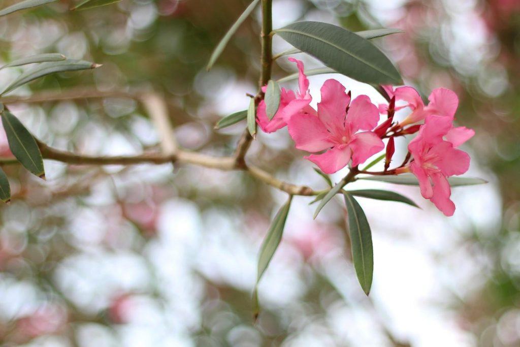 Rosa Blüten an einem Zweig