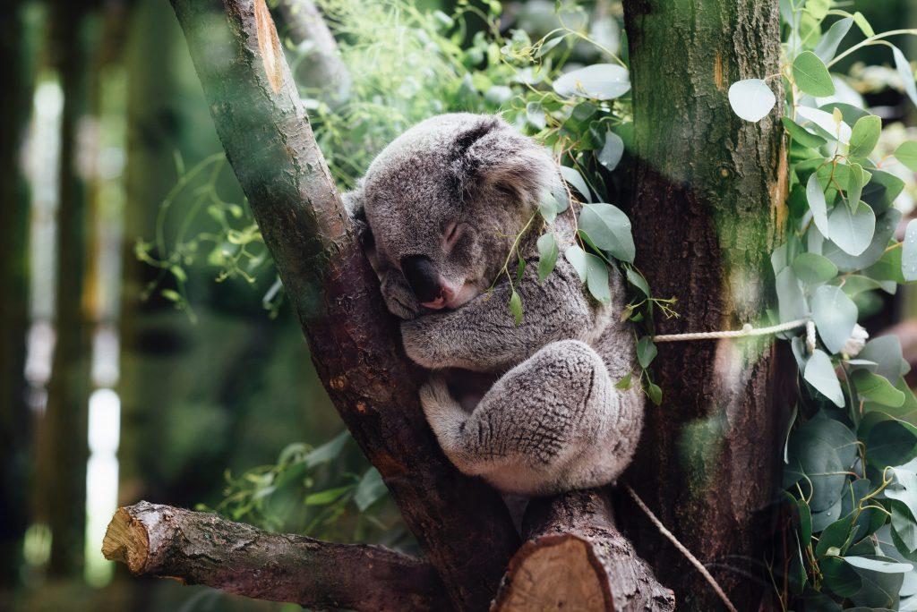 Koalabär im Schlaf
