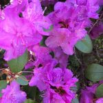 lila Rhododendronblüte in Nahaufnahme